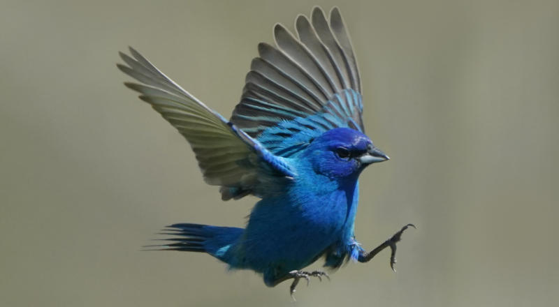 A small blue bird flying